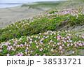 ハマヒルガオ 花 開花の写真 38533721