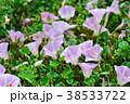 ハマヒルガオ 花 開花の写真 38533722