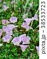 ハマヒルガオ 花 開花の写真 38533723