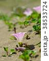 ハマヒルガオ 花 開花の写真 38533724