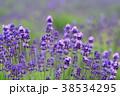 ラベンダー 花 植物の写真 38534295