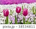 秩父 羊山公園の芝桜の丘 シバザクラとチューリップ 38534811