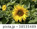 ヒマワリ 花 植物の写真 38535489