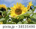 ヒマワリ 花 植物の写真 38535490
