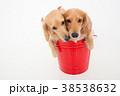 犬 動物 ミニチュアダックスの写真 38538632