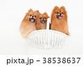 犬 動物 ポメラニアンの写真 38538637