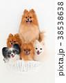 犬 白バック ポメラニアンの写真 38538638