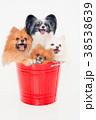 犬 動物 ポメラニアンの写真 38538639