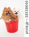 犬 動物 ポメラニアンの写真 38538640