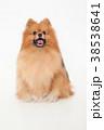 犬 動物 ポメラニアンの写真 38538641