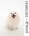 犬 動物 ポメラニアンの写真 38538642
