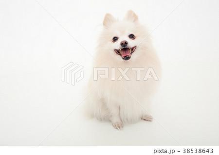 犬 ポメラニアン 38538643