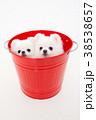 犬 動物 ポメラニアンの写真 38538657
