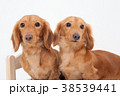 犬 動物 白バックの写真 38539441