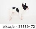 犬 フレンチブルドッグ 38539472