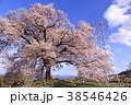 わに塚の桜 王仁塚の桜 桜の写真 38546426