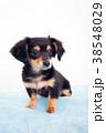 犬 チワックス ミックス犬の写真 38548029