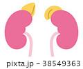 腎臓 臓器 健康のイラスト 38549363
