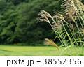 秋_山村のススキ 38552356