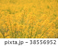 植物 花 菜の花の写真 38556952