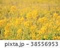 植物 花 菜の花の写真 38556953