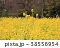 植物 花 菜の花の写真 38556954