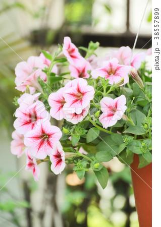Closed up Petunia flower, pink petunia flower 38557899