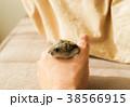 ジャンガリアンハムスター(ブルーサファイア) 38566915