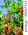 アメリカデイゴ デイゴ 花の写真 38567313