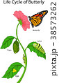 Illustration of a monarch butterfly life cycle 38573262
