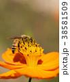 ミツバチ セイヨウミツバチ 昆虫の写真 38581509