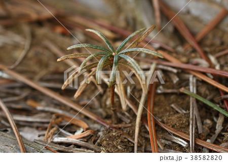 自然 植物 コウヤマキ、実生です。葉の色はあまりよくありませんが真ん中に丸い芽が見えます 38582820
