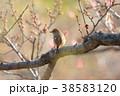 ジョウビタキ 小鳥 メスの写真 38583120