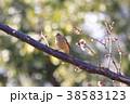 ジョウビタキ 小鳥 メスの写真 38583123