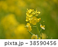 菜の花 菜花 花の写真 38590456