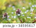 姫踊子草 ヒメオドリコソウ 植物の写真 38595617