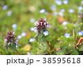 姫踊子草 ヒメオドリコソウ 植物の写真 38595618