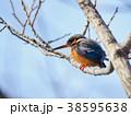 鳥 小鳥 カワセミの写真 38595638