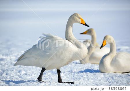 白鳥 38598065