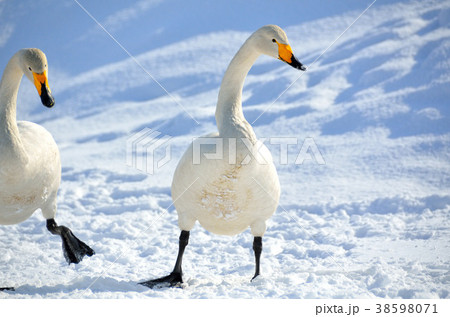 白鳥 38598071