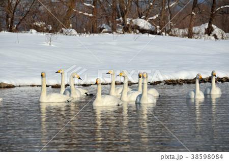 白鳥 38598084