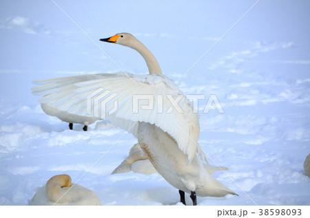 白鳥 38598093