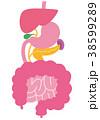 脾臓 内臓 臓器のイラスト 38599289