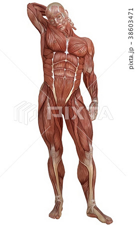 Male body without skin, anatomy and muscles 3d 38603471