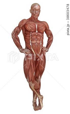 Male body without skin, anatomy and muscles 3d 38603478
