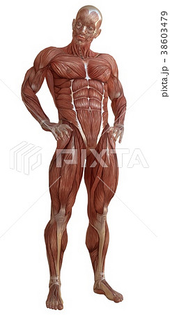 Male body without skin, anatomy and muscles 3d 38603479