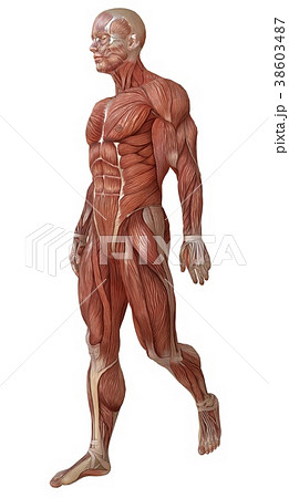 Male body without skin, anatomy and muscles 3d 38603487