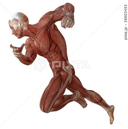 Male body without skin, anatomy and muscles 3d 38603493