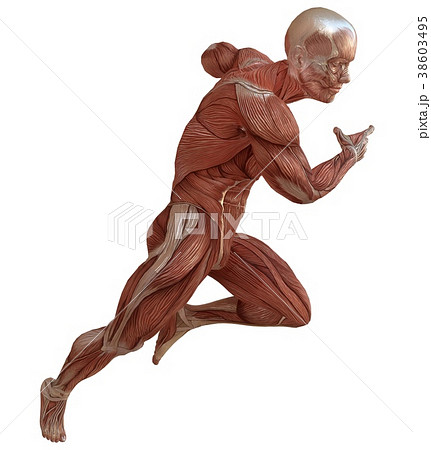 Male body without skin, anatomy and muscles 3d 38603495