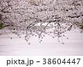 花筏 花 桜の写真 38604447